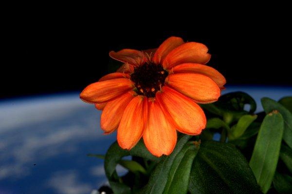Zinnia aboard ISS